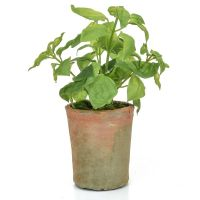 28cm Potted Herb – Basil